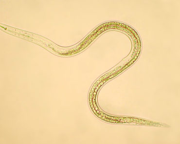 beneficial nematodes for fleas