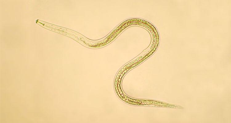 beneficial nematodes for fleas