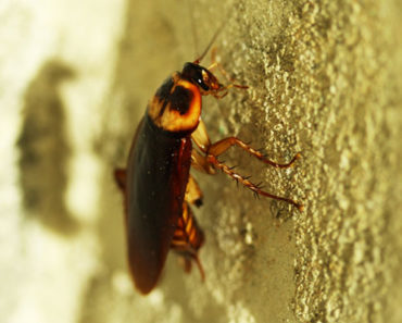 Boric Acid for Roaches – Benefits and How to Use It?