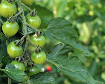 calcium nitrate for tomatoes