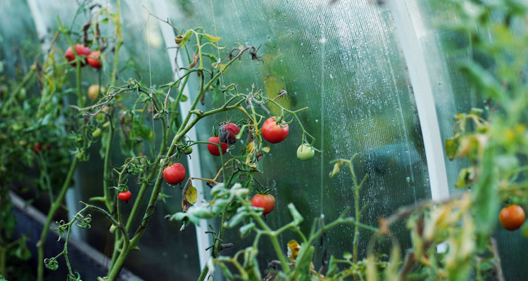 coffee grounds for tomatoes