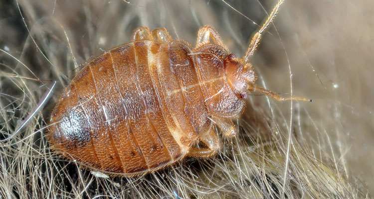 diatomaceous earth for bed bugs treatment