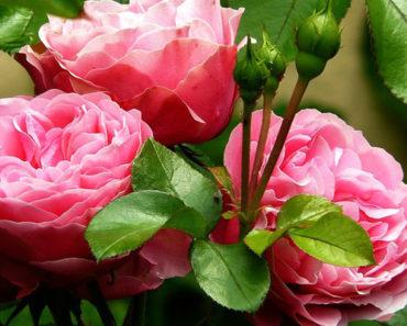 epsom salt for roses