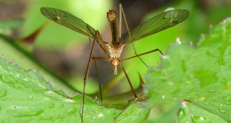 geranium mosquito plant