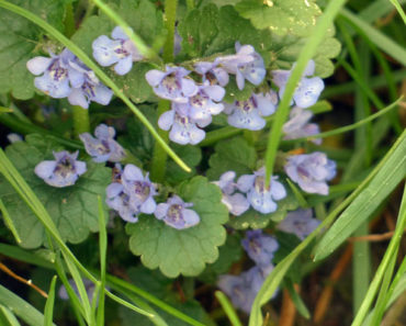 ground ivy control methods
