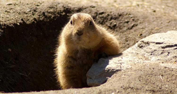 groundhog bait