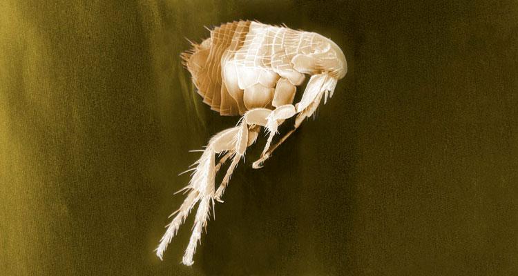 homemade flea killer