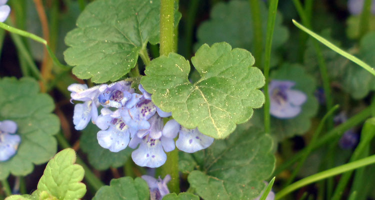 how to get rid of ground ivy