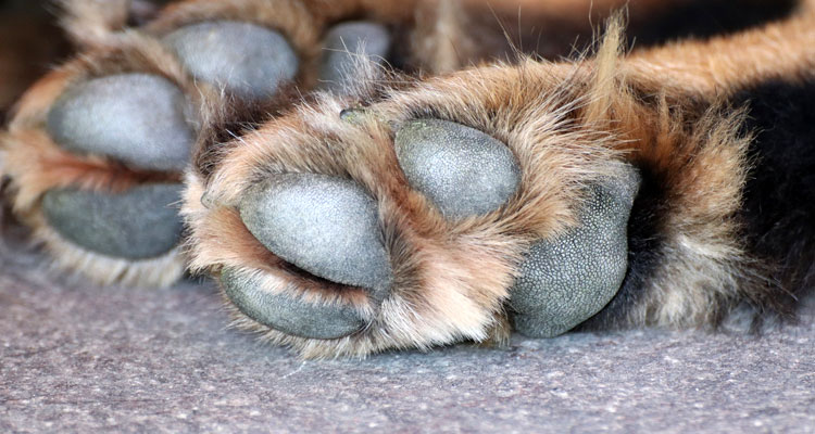 how to put coconut oil on dogs paws