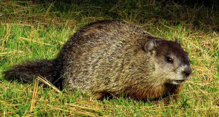 how to trap a groundhog