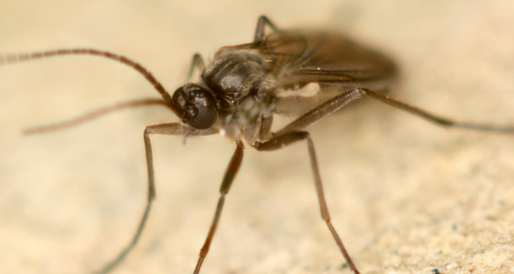 How to Get Rid of Fungus Gnats with Hydrogen Peroxide