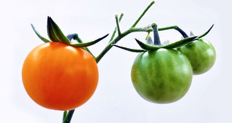 tips for growing tomato plant
